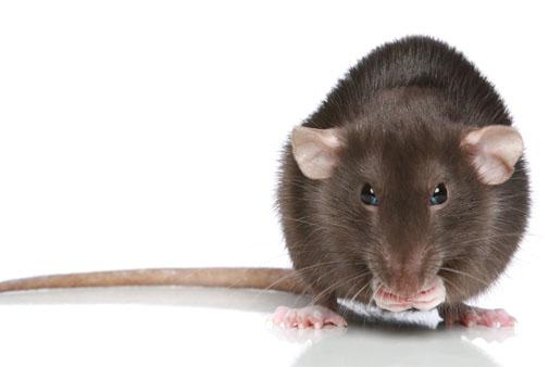 bruine-rat-bluepestcontrol