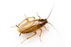 kakkerlakken bestrijden den haag rijswijk delft zoetermeer